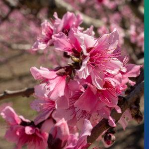 Cherry blossoms, Cieza
