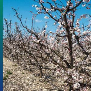 Apricot blossoms, Cieza